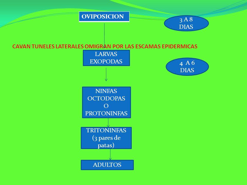 CAVAN TUNELES LATERALES OMIGRAN POR LAS ESCAMAS EPIDERMICAS