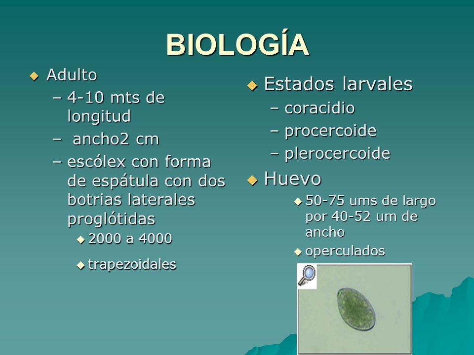 BIOLOGÍA Estados larvales Huevo Adulto 4-10 mts de longitud coracidio