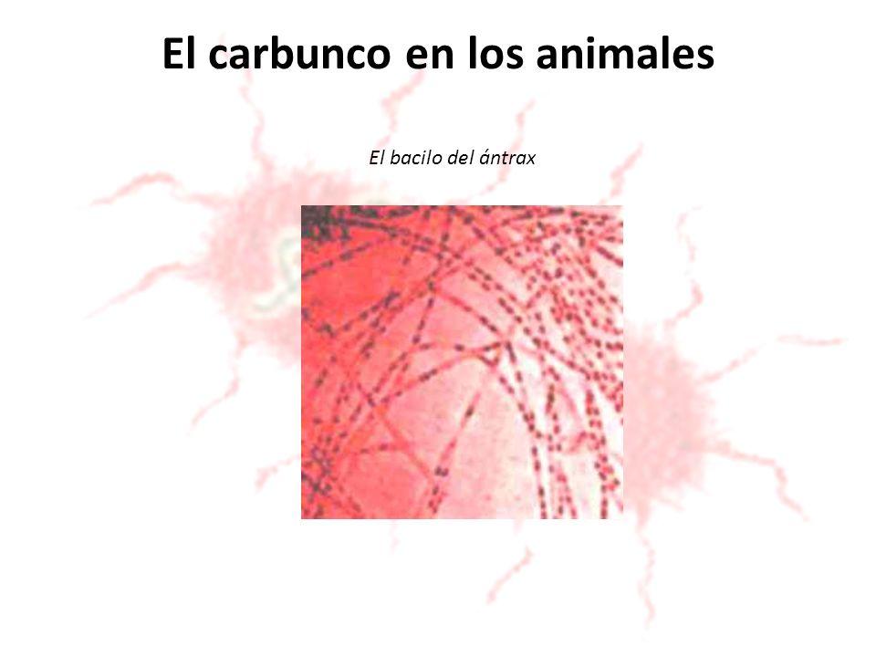El carbunco en los animales