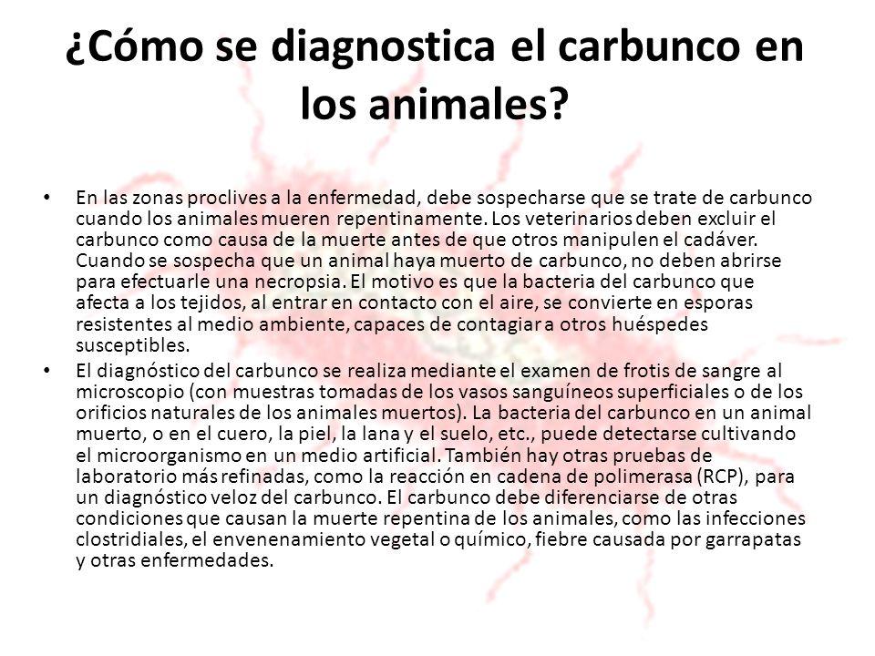 ¿Cómo se diagnostica el carbunco en los animales