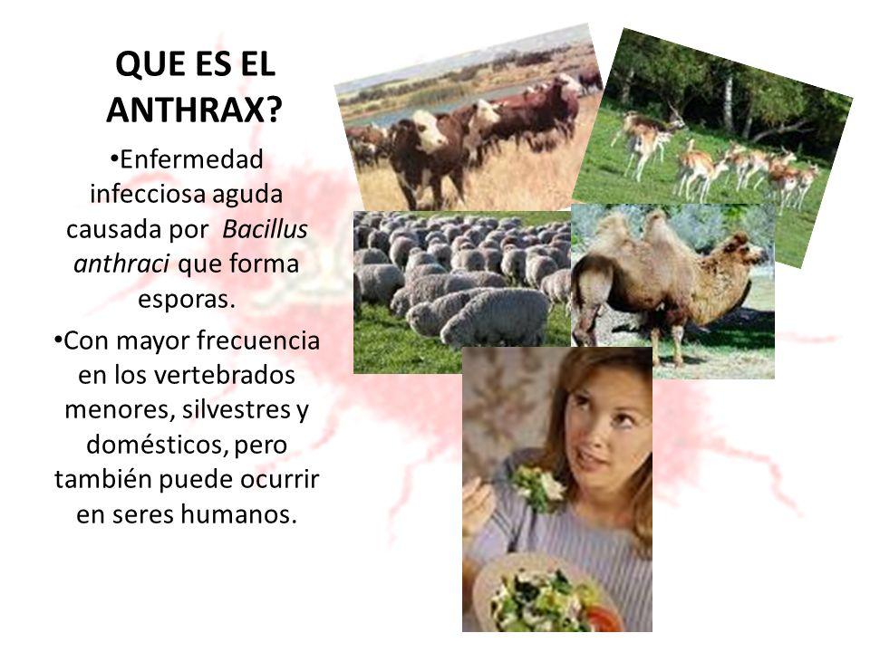 QUE ES EL ANTHRAX Enfermedad infecciosa aguda causada por Bacillus anthraci que forma esporas.