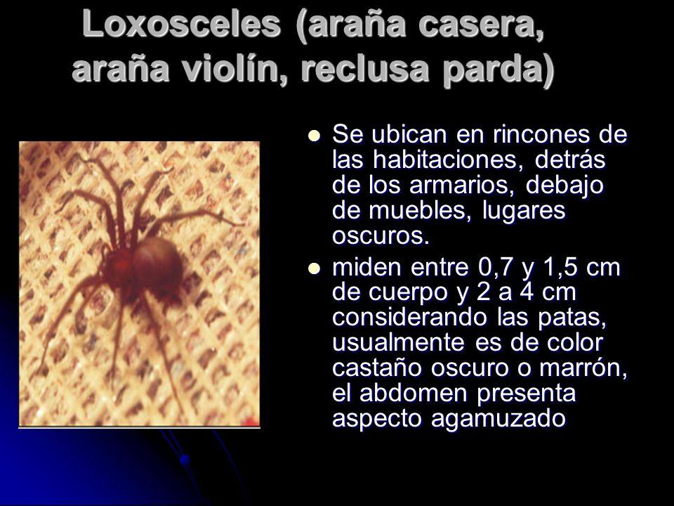 Loxosceles (araña casera, araña violín, reclusa parda)