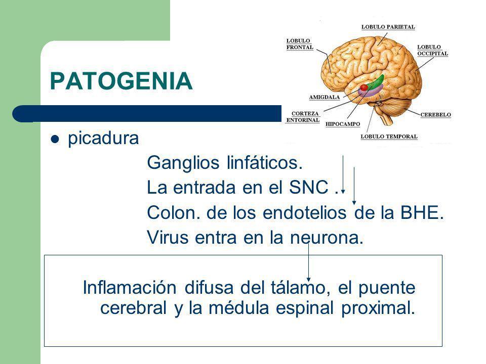 PATOGENIA picadura Ganglios linfáticos. La entrada en el SNC .