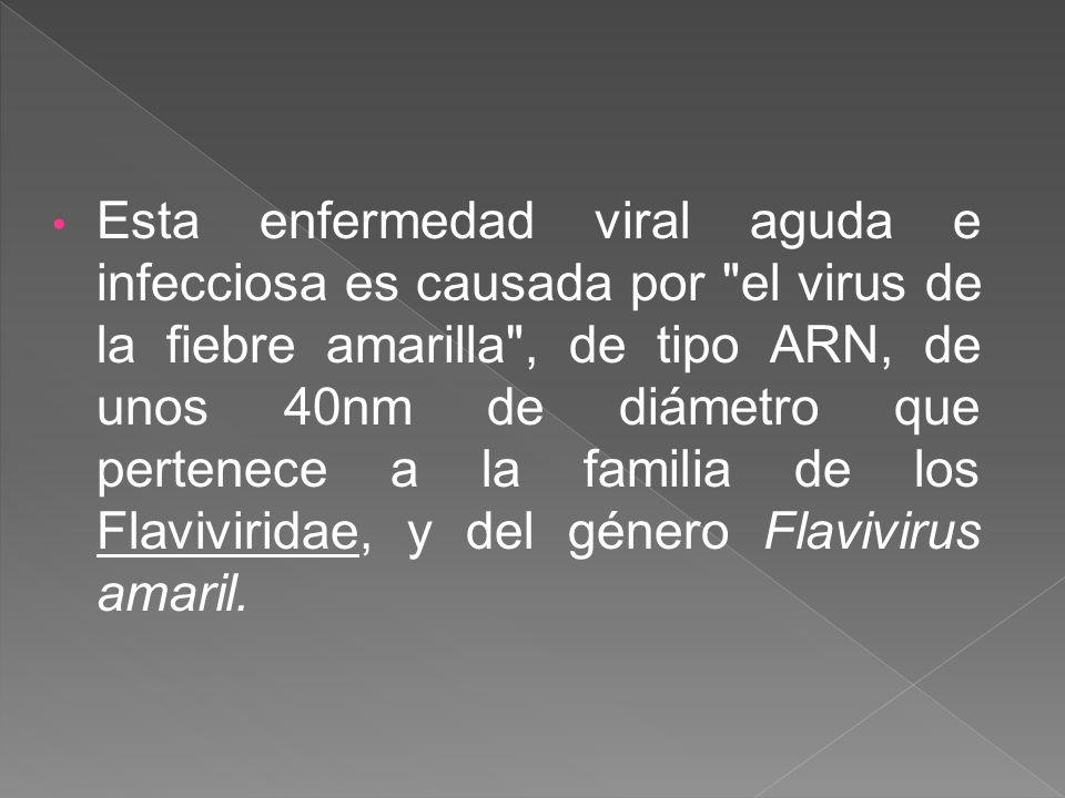 Esta enfermedad viral aguda e infecciosa es causada por el virus de la fiebre amarilla , de tipo ARN, de unos 40nm de diámetro que pertenece a la familia de los Flaviviridae, y del género Flavivirus amaril.