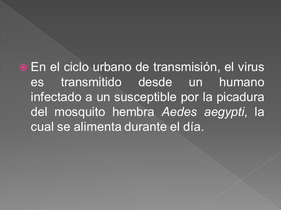 En el ciclo urbano de transmisión, el virus es transmitido desde un humano infectado a un susceptible por la picadura del mosquito hembra Aedes aegypti, la cual se alimenta durante el día.
