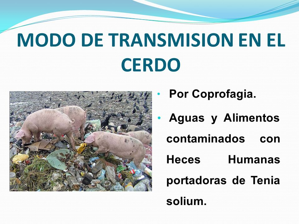 MODO DE TRANSMISION EN EL CERDO
