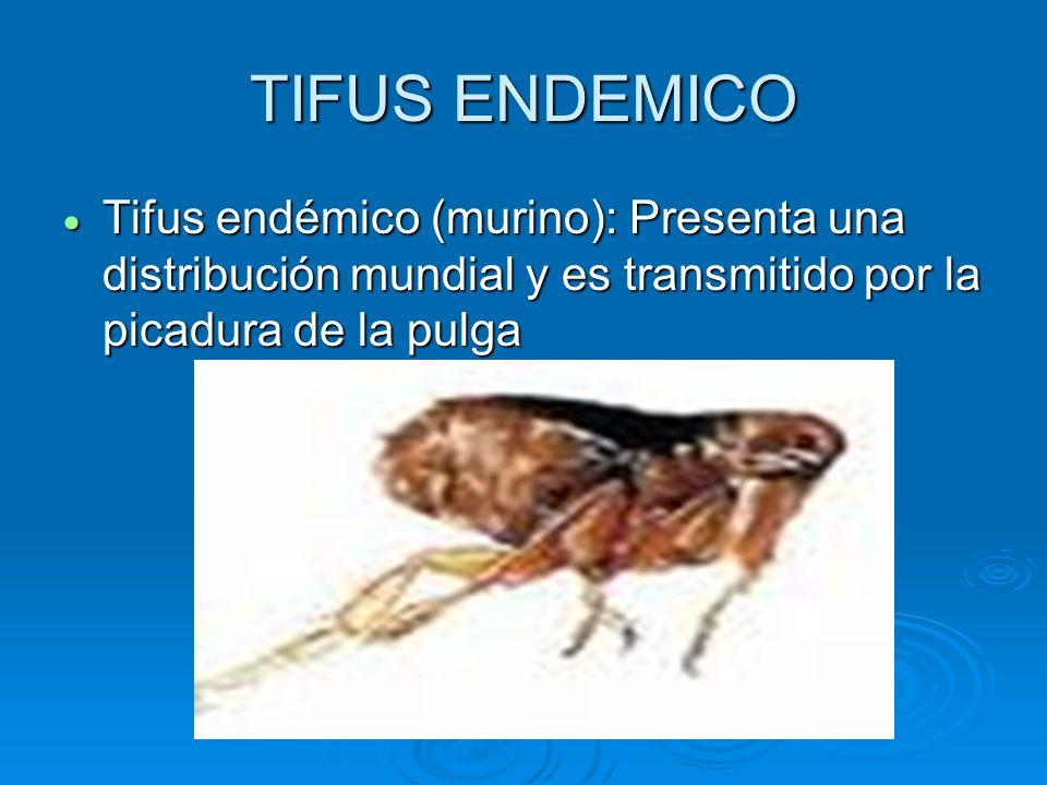 TIFUS ENDEMICO Tifus endémico (murino): Presenta una distribución mundial y es transmitido por la picadura de la pulga.