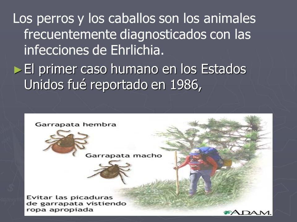 Los perros y los caballos son los animales frecuentemente diagnosticados con las infecciones de Ehrlichia.