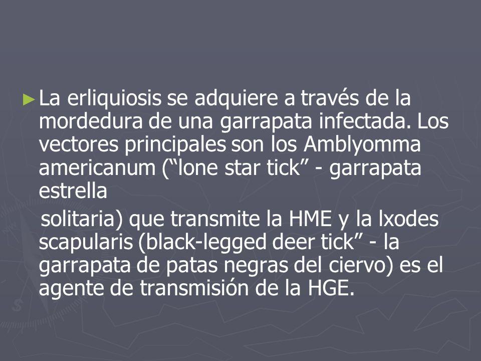 La erliquiosis se adquiere a través de la mordedura de una garrapata infectada. Los vectores principales son los Amblyomma americanum ( lone star tick - garrapata estrella