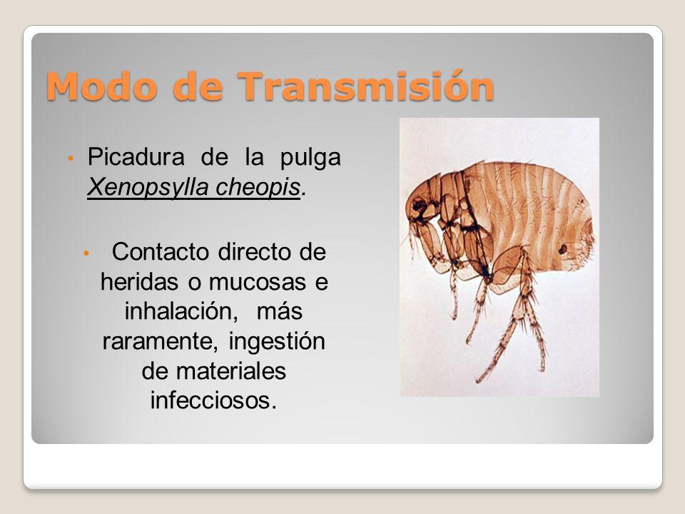 Modo de Transmisión Picadura de la pulga Xenopsylla cheopis.