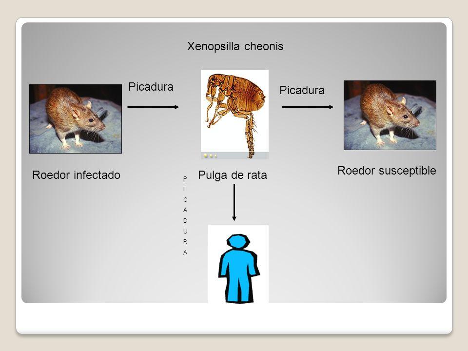 Xenopsilla cheonis Picadura Roedor susceptible Roedor infectado
