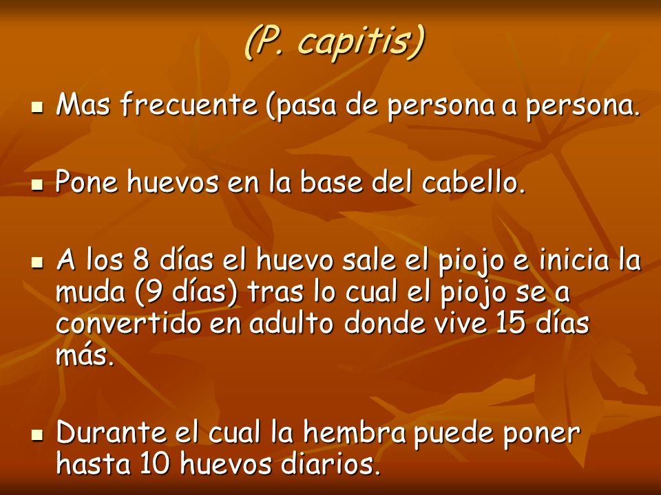 (P. capitis) Mas frecuente (pasa de persona a persona.