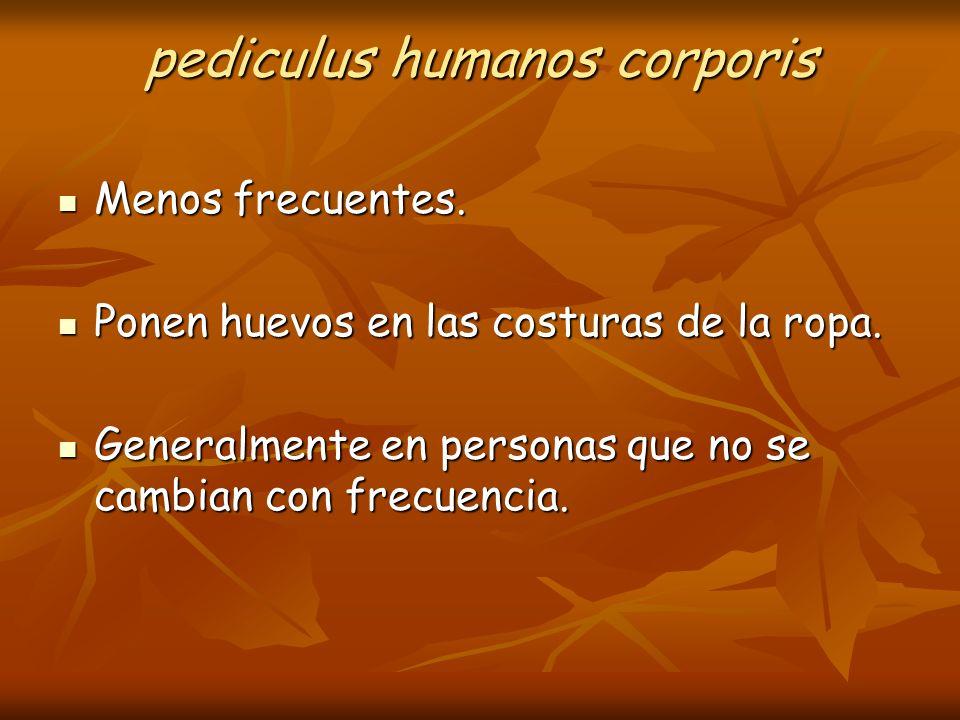 pediculus humanos corporis