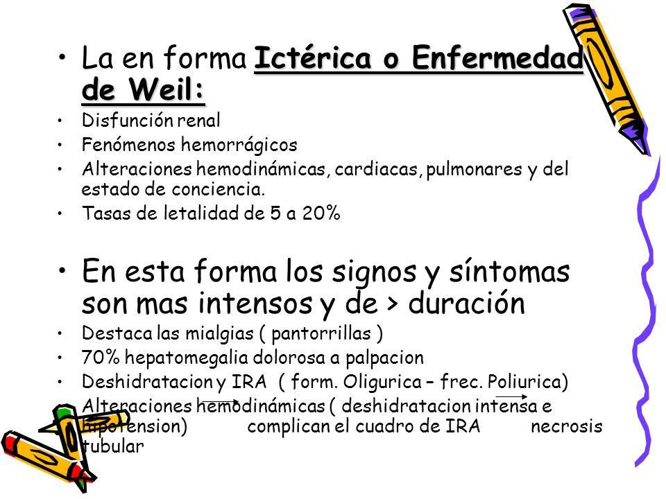 La en forma Ictérica o Enfermedad de Weil: