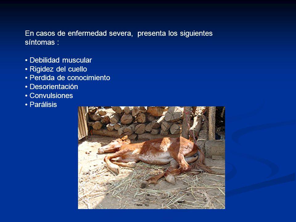 En casos de enfermedad severa, presenta los siguientes síntomas :