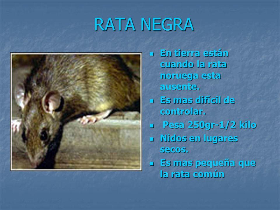 RATA NEGRA En tierra están cuando la rata noruega esta ausente.