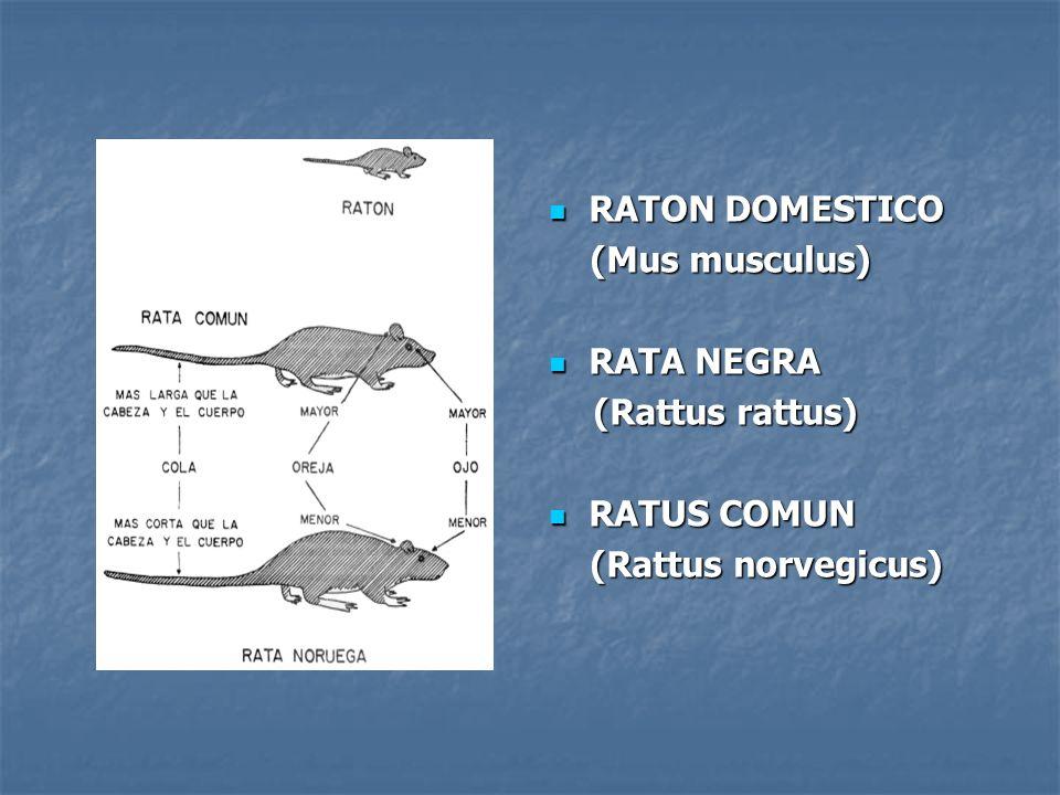 RATON DOMESTICO (Mus musculus) RATA NEGRA (Rattus rattus) RATUS COMUN (Rattus norvegicus)