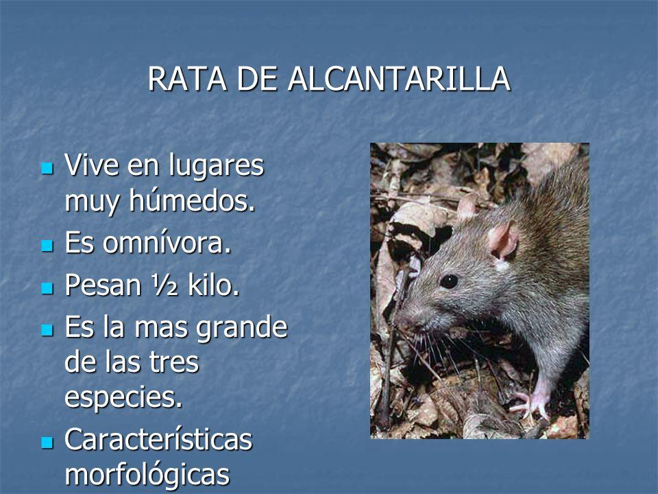 RATA DE ALCANTARILLA Vive en lugares muy húmedos. Es omnívora.