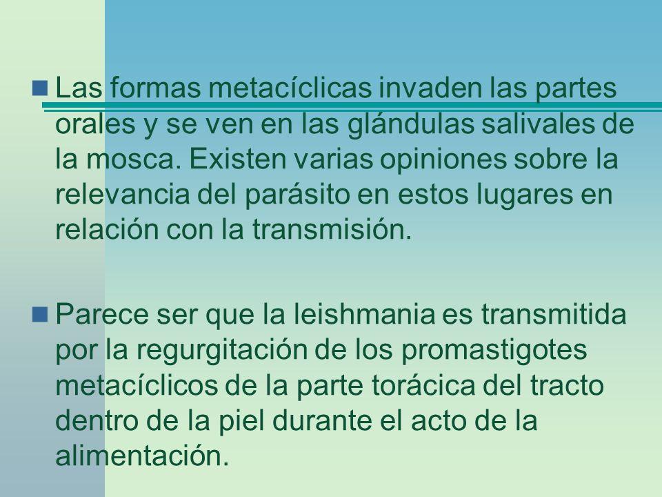 Las formas metacíclicas invaden las partes orales y se ven en las glándulas salivales de la mosca. Existen varias opiniones sobre la relevancia del parásito en estos lugares en relación con la transmisión.