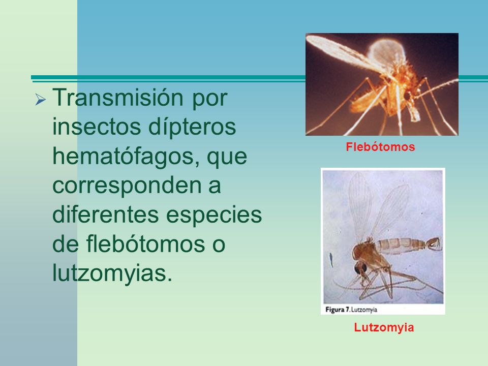 Transmisión por insectos dípteros hematófagos, que corresponden a diferentes especies de flebótomos o lutzomyias.