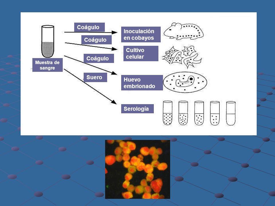 Inoculación en cobayos