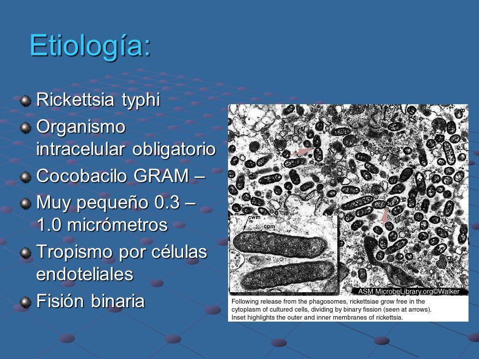 Etiología: Rickettsia typhi Organismo intracelular obligatorio