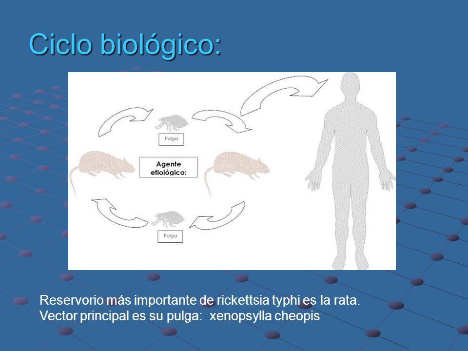 Ciclo biológico:Reservorio más importante de rickettsia typhi es la rata.