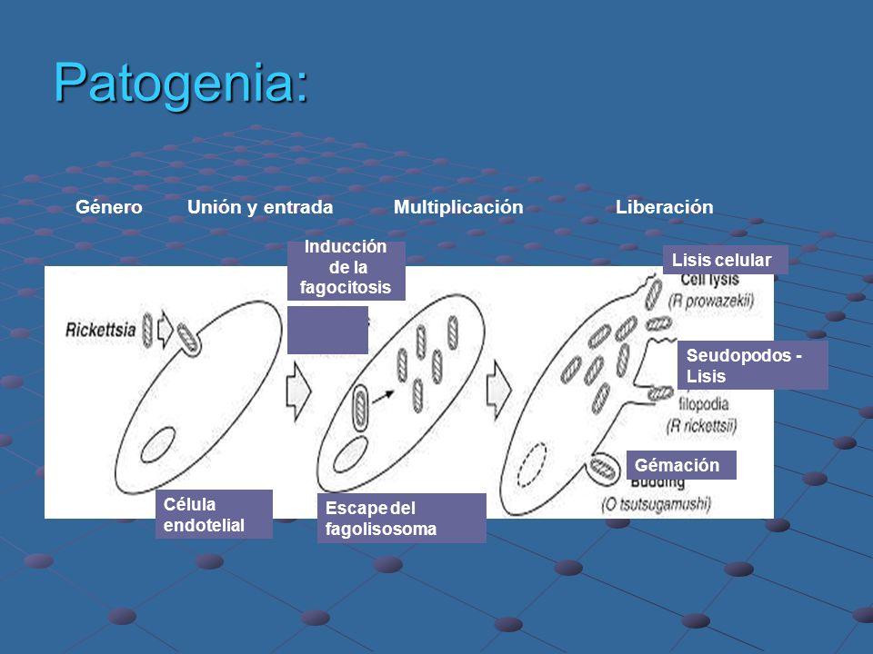 Patogenia: Género Unión y entrada Multiplicación Liberación Inducción