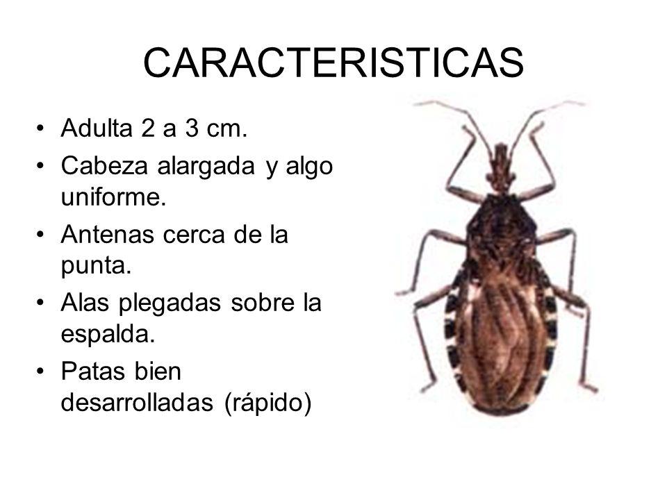 CARACTERISTICAS Adulta 2 a 3 cm. Cabeza alargada y algo uniforme.