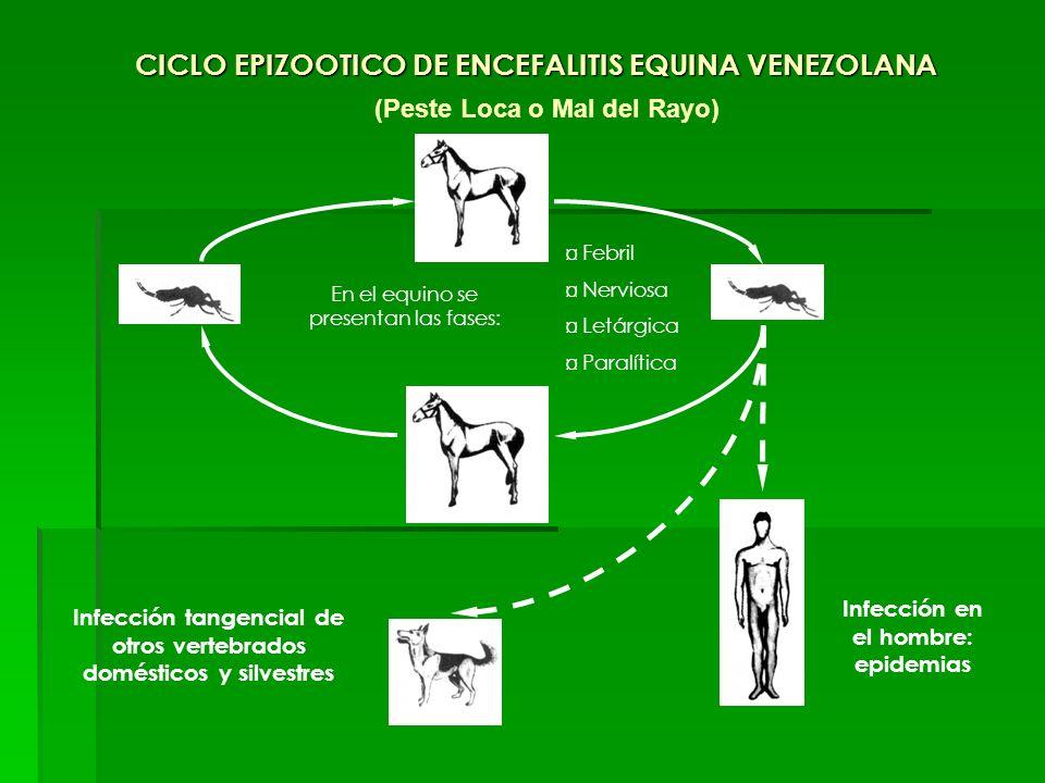 CICLO EPIZOOTICO DE ENCEFALITIS EQUINA VENEZOLANA