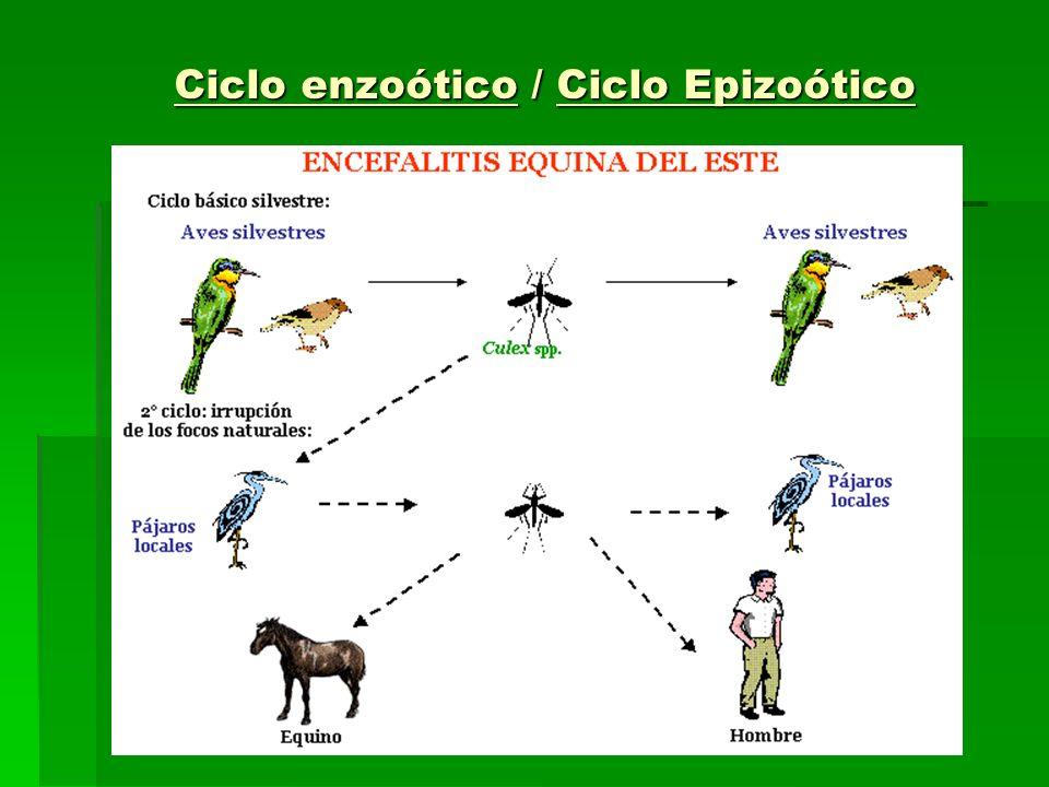 Ciclo enzoótico / Ciclo Epizoótico