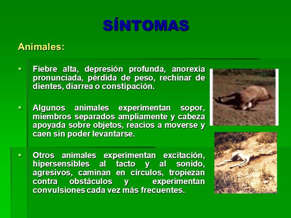 SÍNTOMAS Animales: Fiebre alta, depresión profunda, anorexia pronunciada, pérdida de peso, rechinar de dientes, diarrea o constipación.