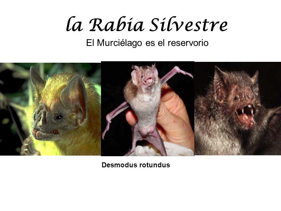 El Murciélago es el reservorio