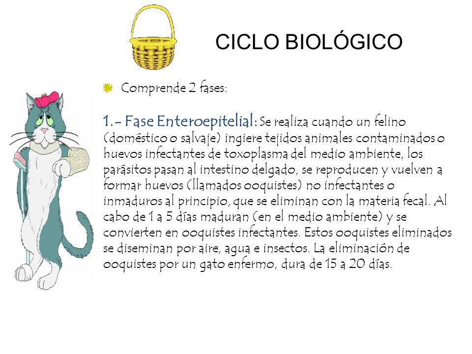 CICLO BIOLÓGICO 1.- Fase Enteroepitelial: Se realiza cuando un felino