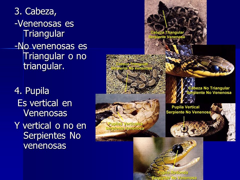 3. Cabeza, -Venenosas es Triangular. -No venenosas es Triangular o no triangular. 4. Pupila. Es vertical en Venenosas.
