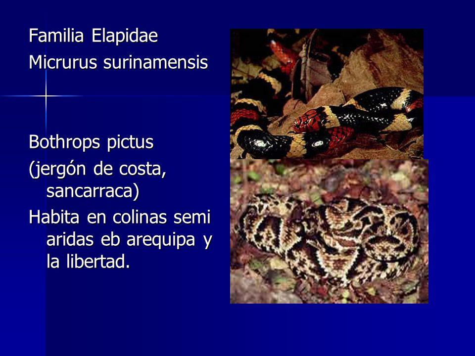 Familia Elapidae Micrurus surinamensis. Bothrops pictus.
