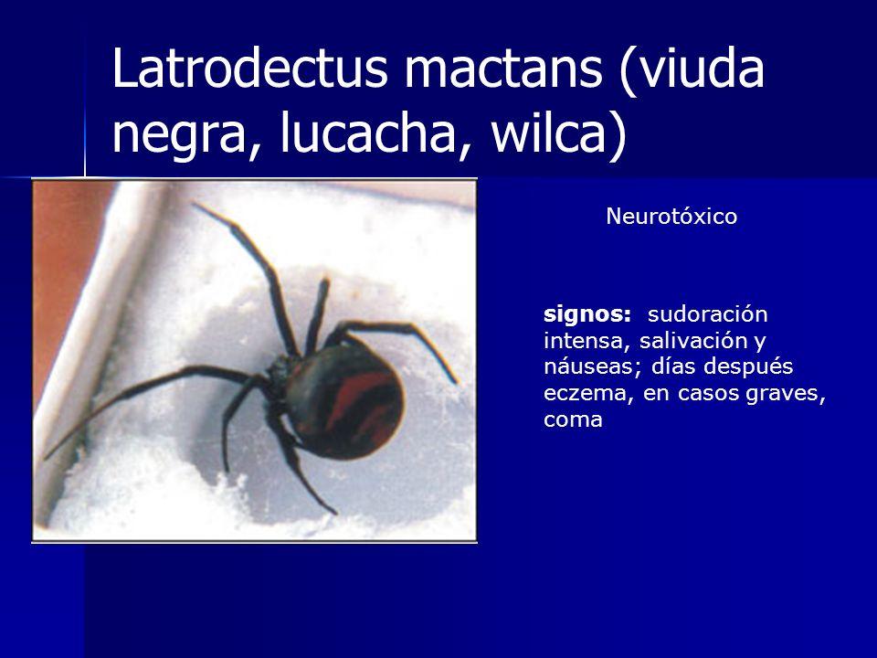 Latrodectus mactans (viuda negra, lucacha, wilca)