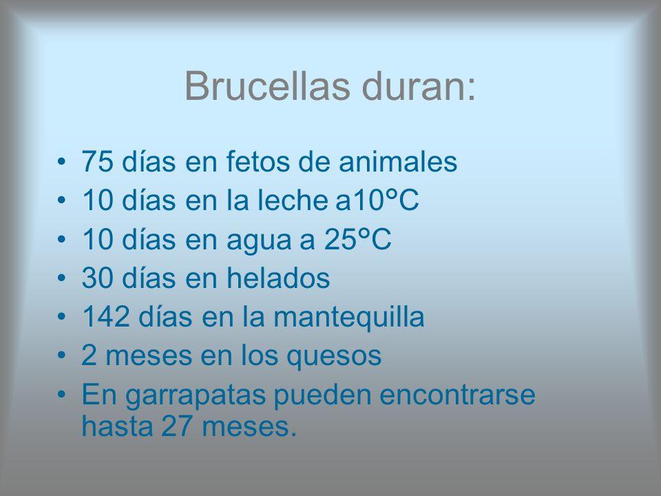 Brucellas duran: 75 días en fetos de animales