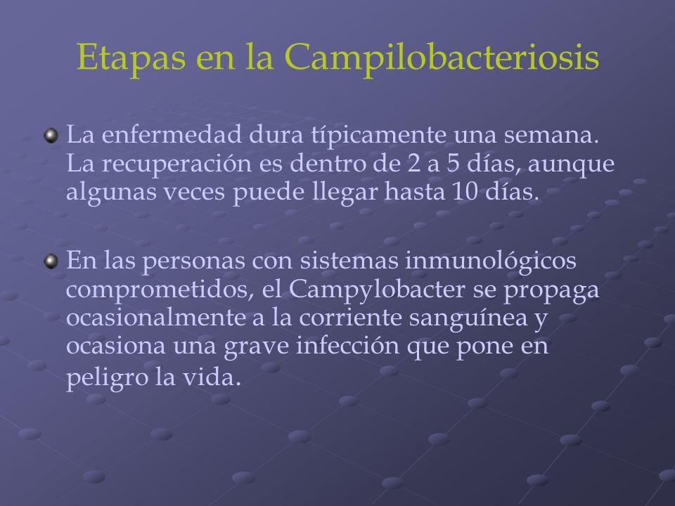 Etapas en la Campilobacteriosis