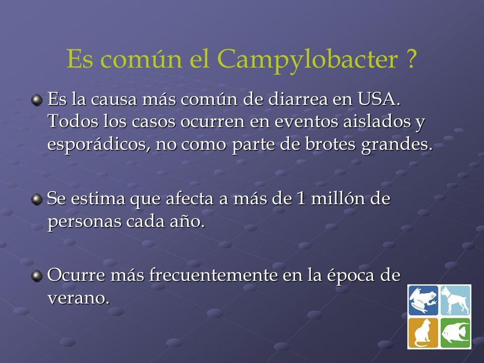 Es común el Campylobacter