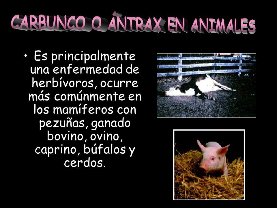 CARBUNCO O ÁNTRAX EN ANIMALES