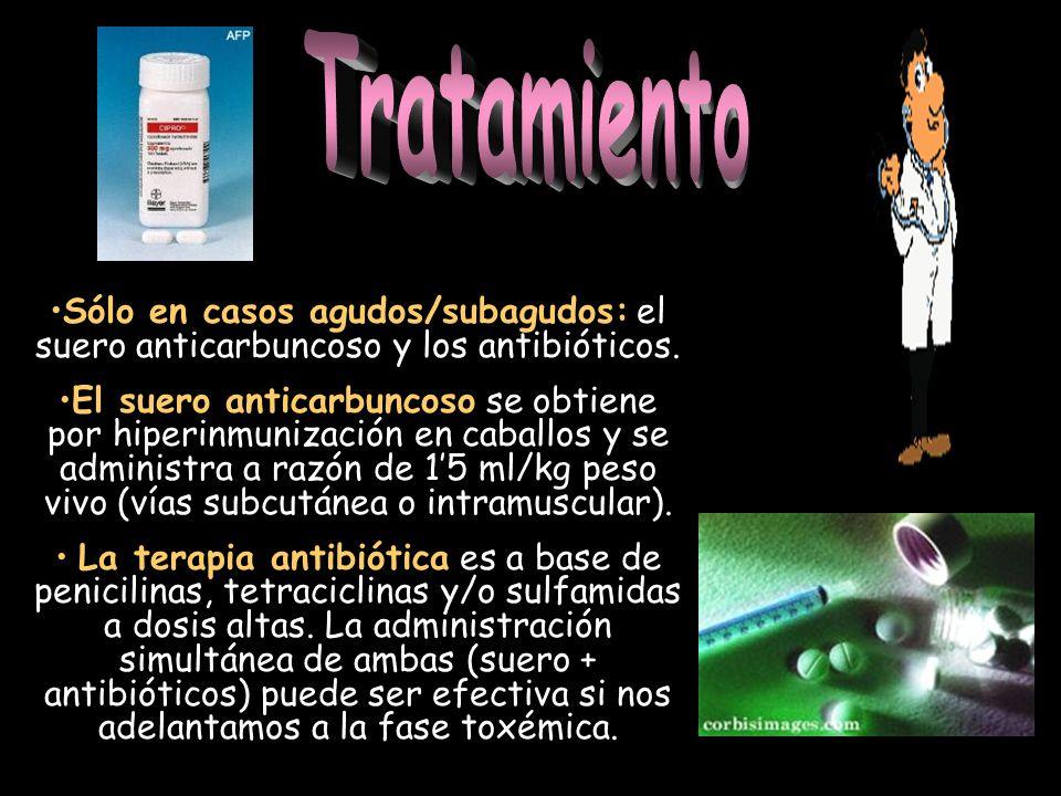 Tratamiento Sólo en casos agudos/subagudos: el suero anticarbuncoso y los antibióticos.