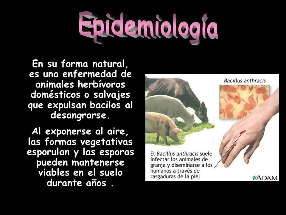 Epidemiología En su forma natural, es una enfermedad de animales herbívoros domésticos o salvajes que expulsan bacilos al desangrarse.
