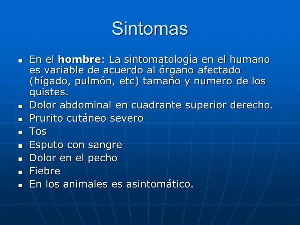 Sintomas En el hombre: La sintomatología en el humano es variable de acuerdo al órgano afectado (hígado, pulmón, etc) tamaño y numero de los quistes.