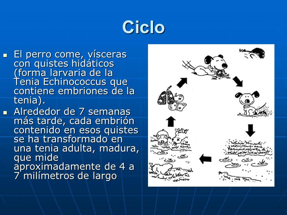 Ciclo El perro come, vísceras con quistes hidáticos (forma larvaria de la Tenia Echinococcus que contiene embriones de la tenia).