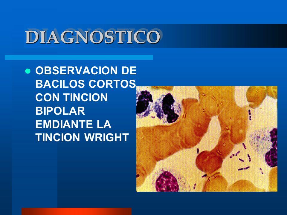 DIAGNOSTICO OBSERVACION DE BACILOS CORTOS CON TINCION BIPOLAR EMDIANTE LA TINCION WRIGHT