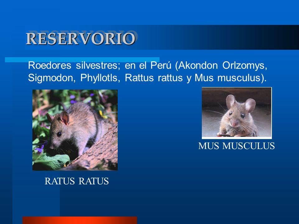RESERVORIO Roedores silvestres; en el Perú (Akondon Orlzomys, Sigmodon, Phyllotls, Rattus rattus y Mus musculus).