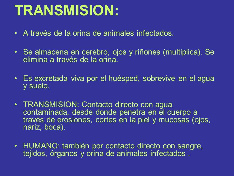 TRANSMISION: A través de la orina de animales infectados.