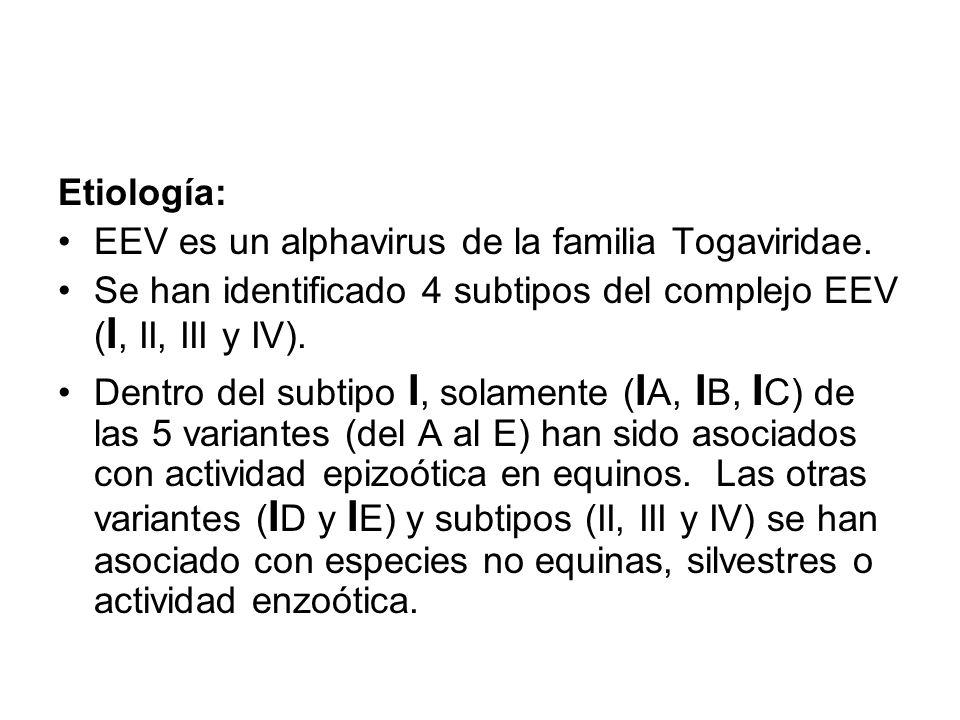 Etiología: EEV es un alphavirus de la familia Togaviridae. Se han identificado 4 subtipos del complejo EEV (I, II, III y IV).