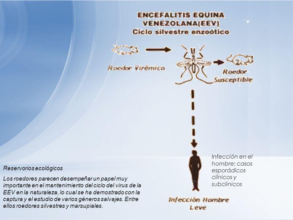 Infección en el hombre: casos esporádicos clínicos y subclinicos